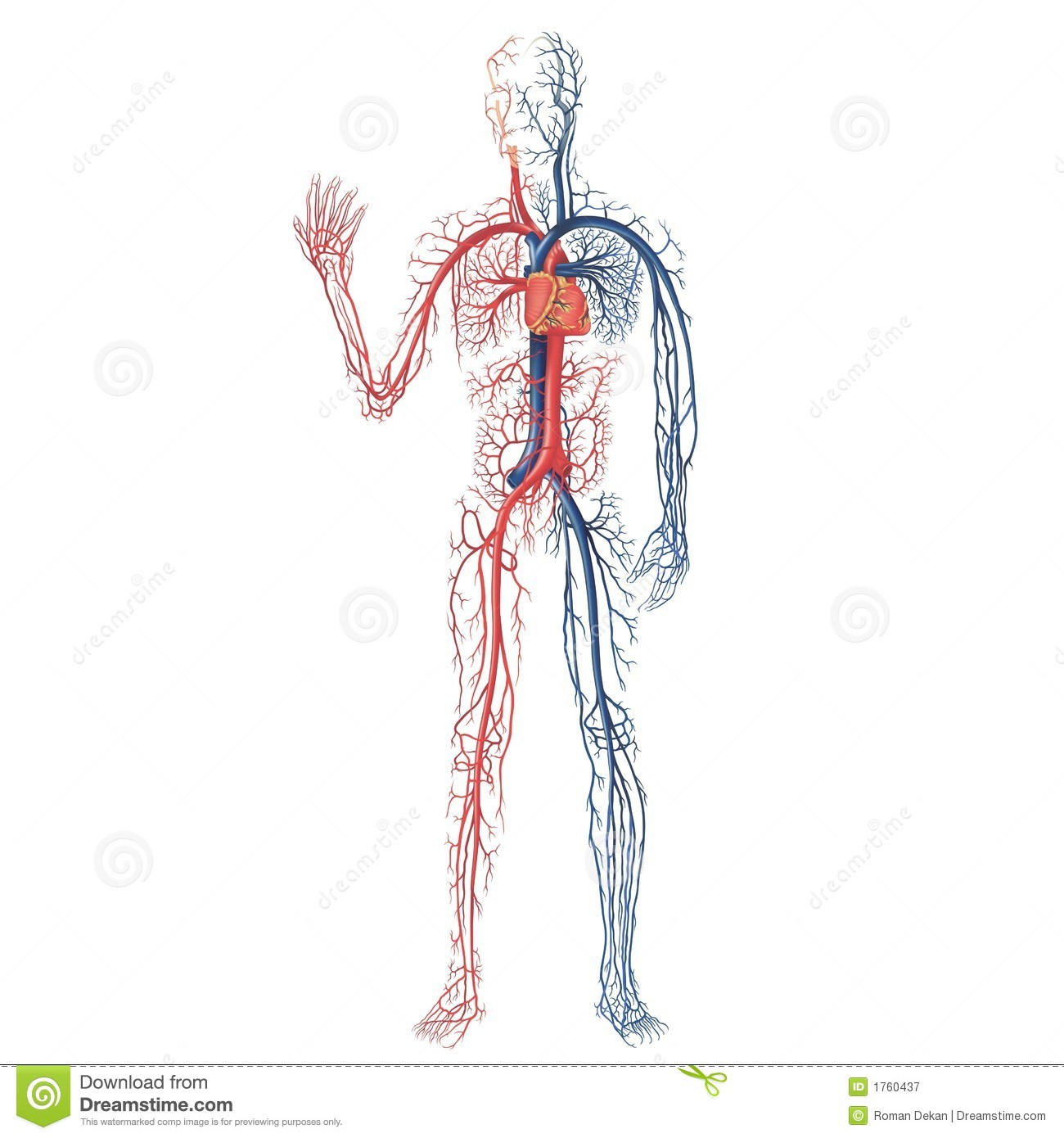 Vascular system royalty free stock photography image for Antropometria humana