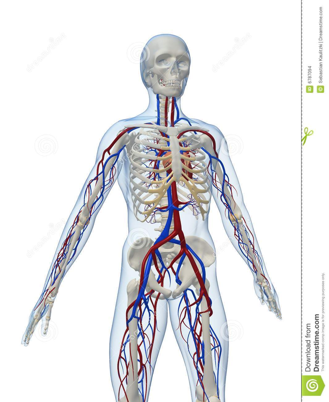 Blood Vessels In Brain further Arteries And Veins Diagram To Label Anatomy Of Arteries And Veins Arteries And Veins Of The Body furthermore Love Plastinated also Body Diagram Of Arteries as well Download. on human brain circulatory system
