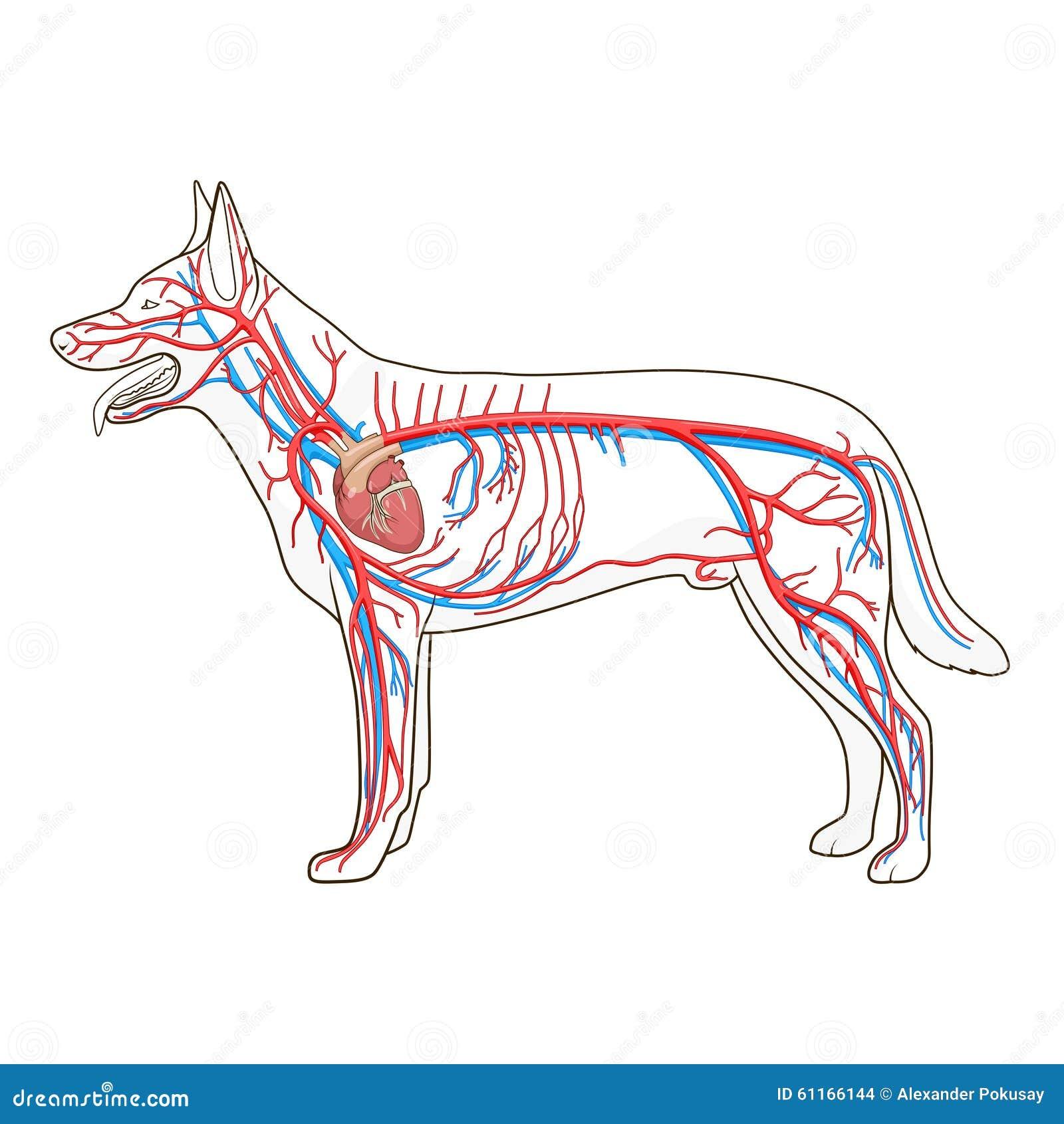 Circulatory System Diagram Dog And Cat - Circuit Connection Diagram •