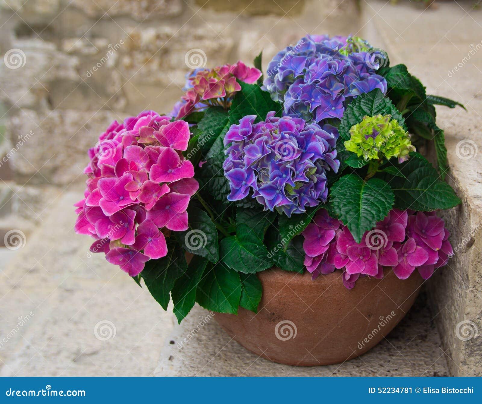 vase der hortensie stockbild bild von blau garten farbe 52234781. Black Bedroom Furniture Sets. Home Design Ideas