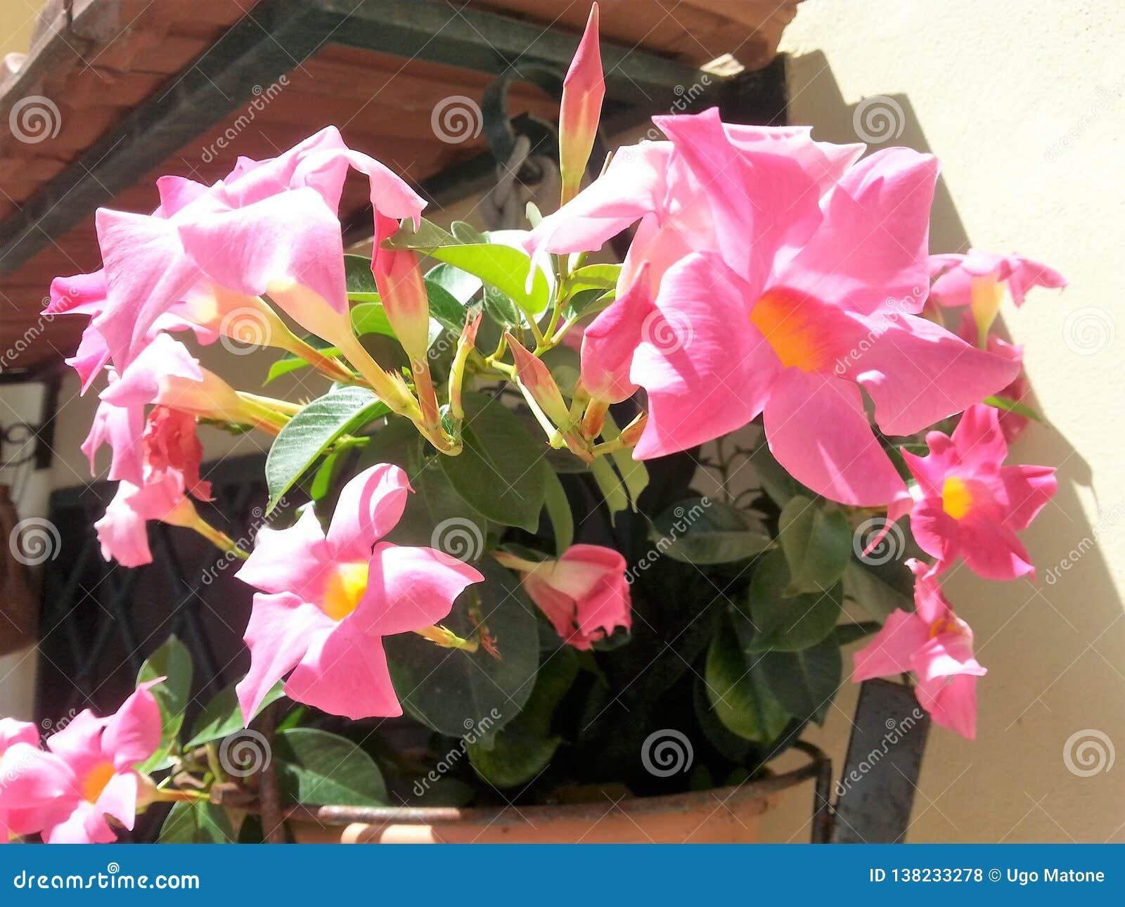 Vase mit Mandevillablumen