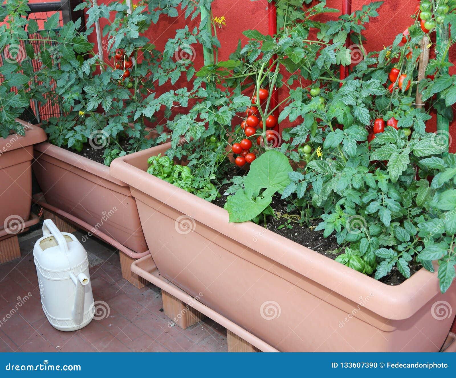 Vasi con le piante di pomodori e un annaffiatoio giallo
