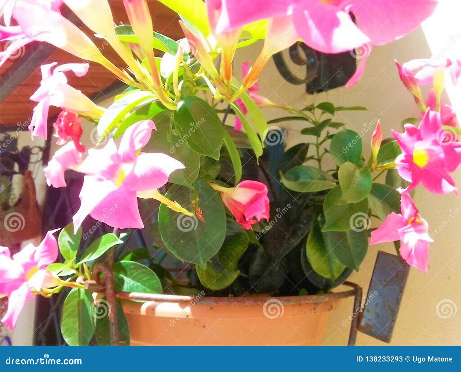 Vaso com flores do Mandevilla