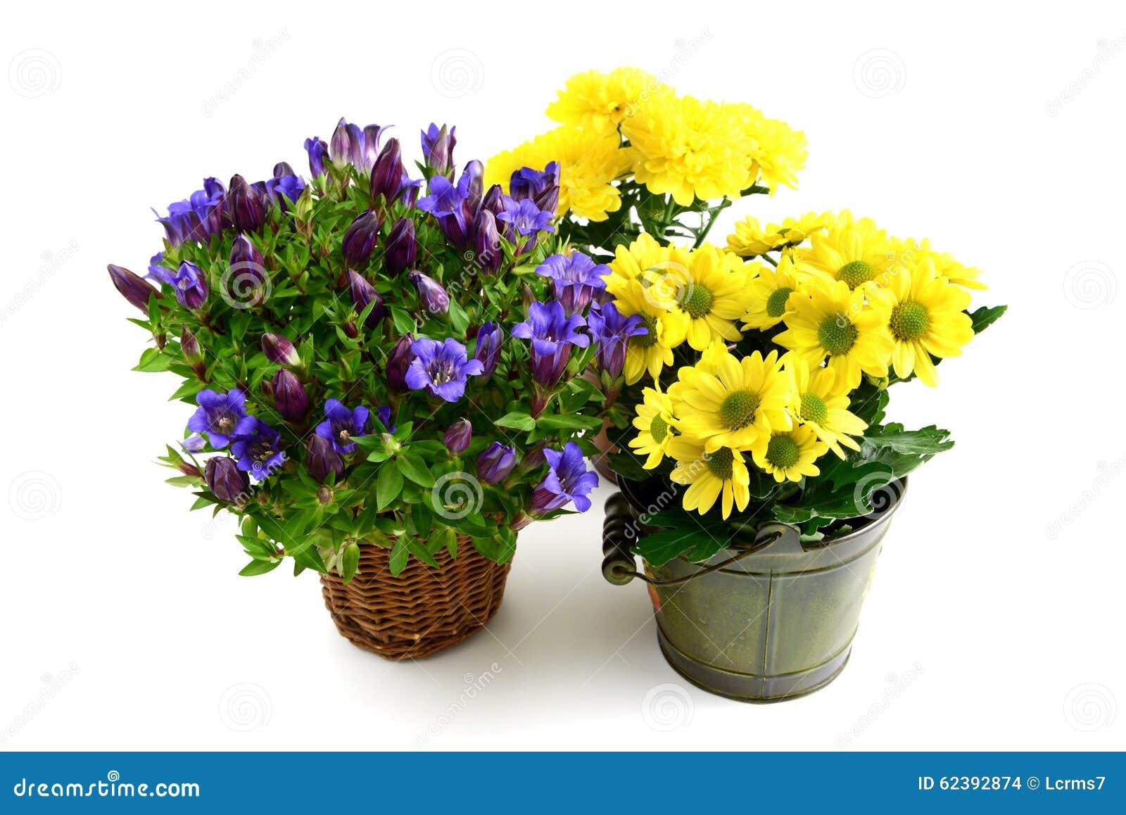 Vaso da fiori tre della genziana blu e dei crisantemi for Fiori da vaso