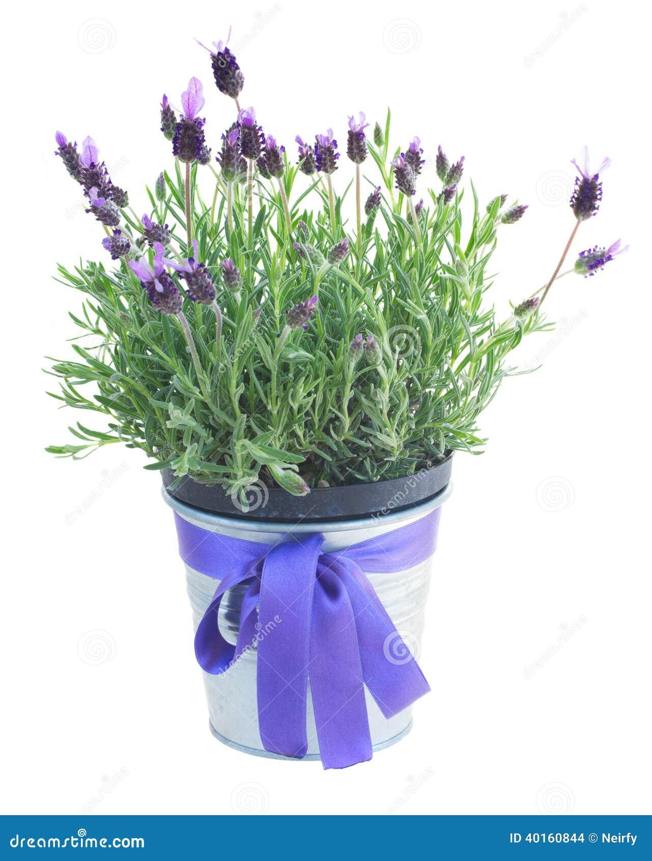 Vaso dei fiori della lavanda su bianco fotografia stock for Lavanda coltivazione in vaso