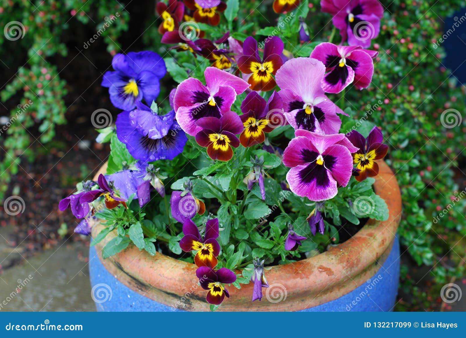 Vaso in pieno delle viole del pensiero colourful nel rosa e porpora blu