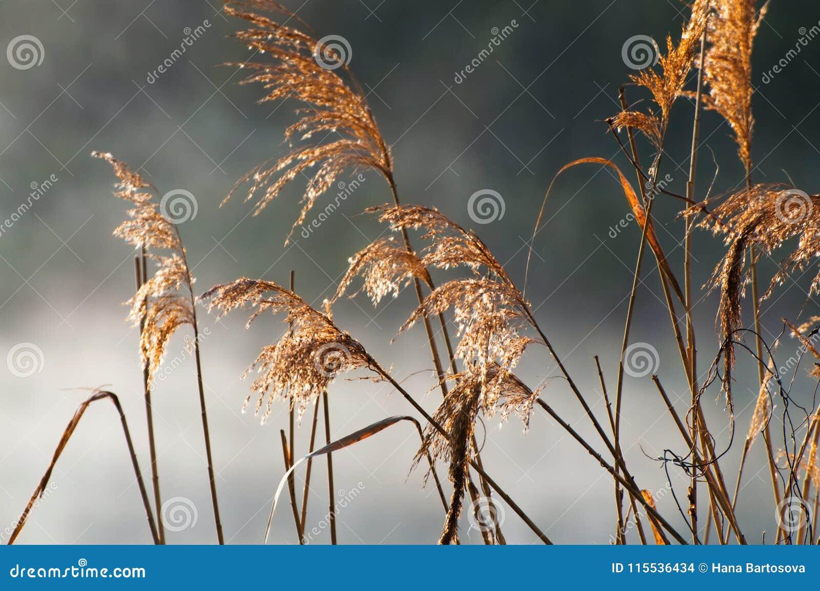 Vassgräs vid floden i morgondimman