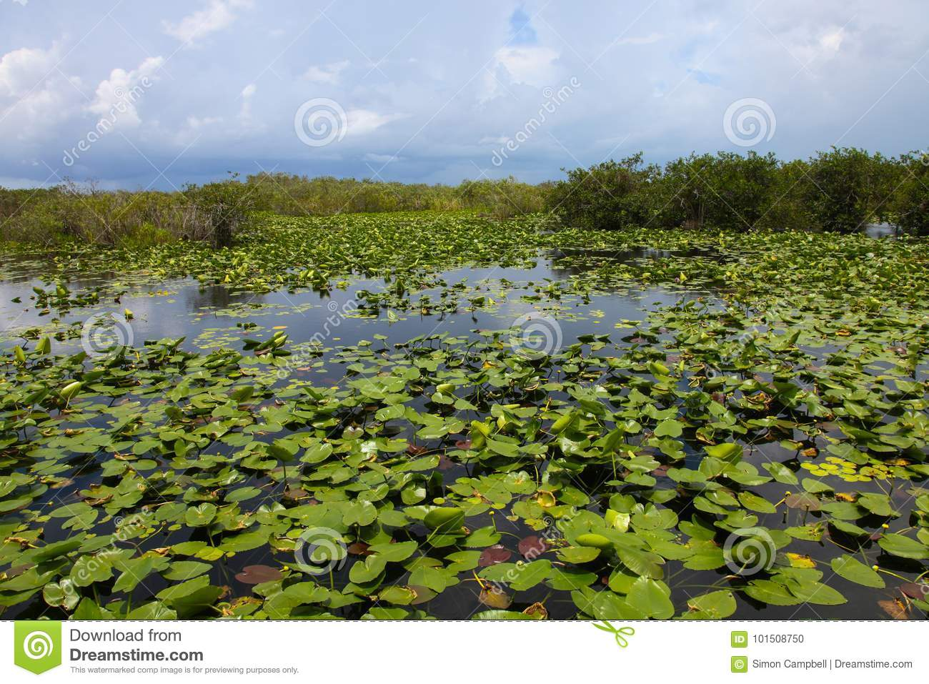 Everglades water Lillies, Florida USA