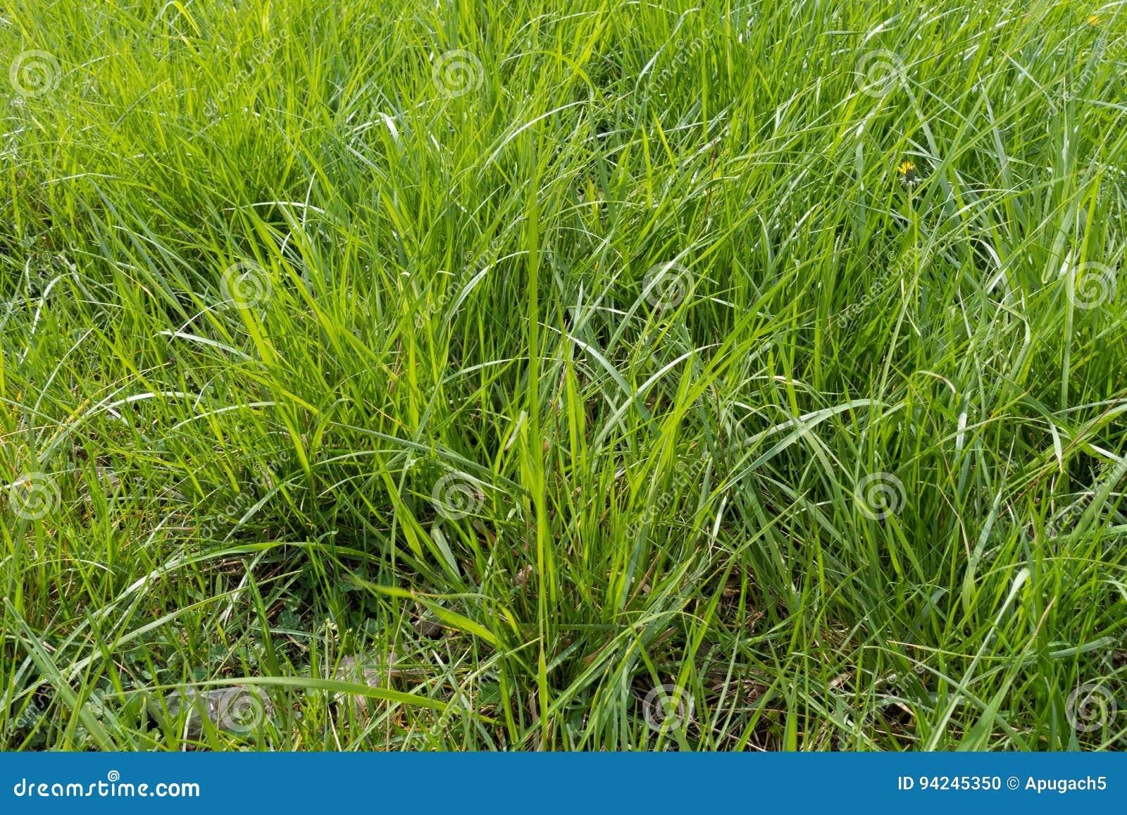 tall green grass field. Vast Field Of Natural Tall Green Grass A