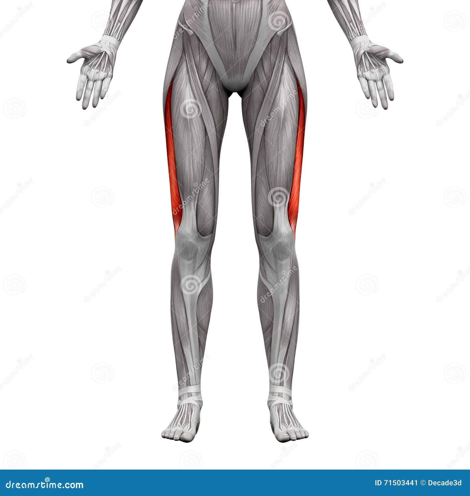 Vastus Lateralis-Spier - Anatomiespieren op 3D die wit worden geïsoleerd -