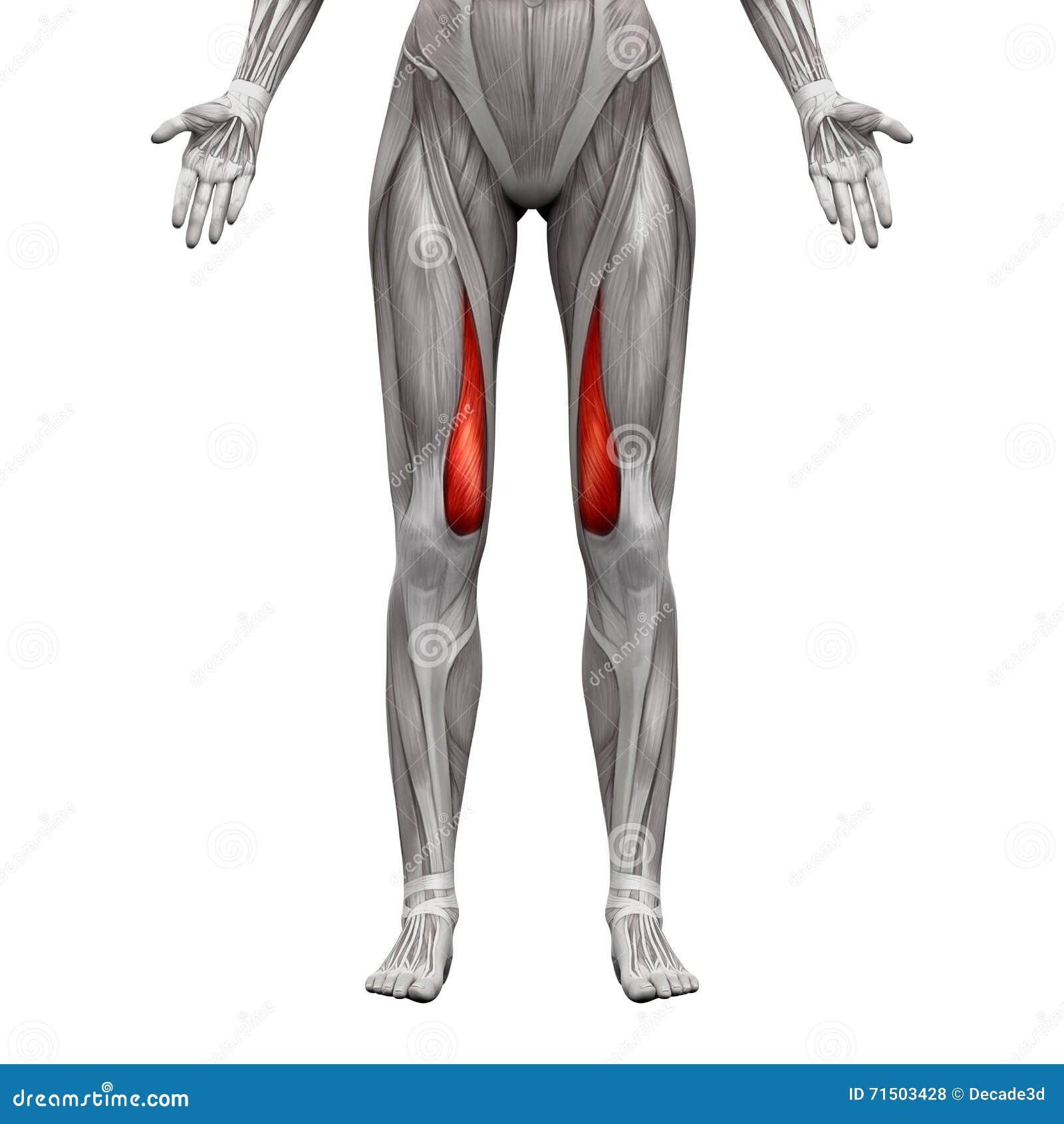 Vastus Medialis mięsień 3D - anatomia mięśnie odizolowywający na bielu -