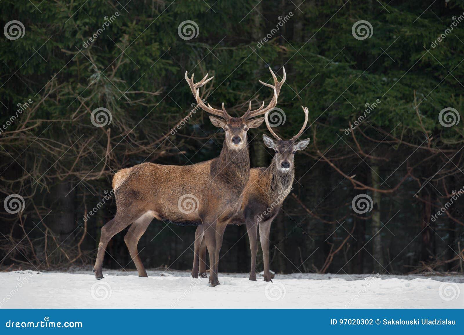 Vater And Son: Zwei Generationen edler Rotwild-Hirsch Zwei Rotwild Cervus Elaphus-Stand als Nächstes der Winter Forest Winter Wil