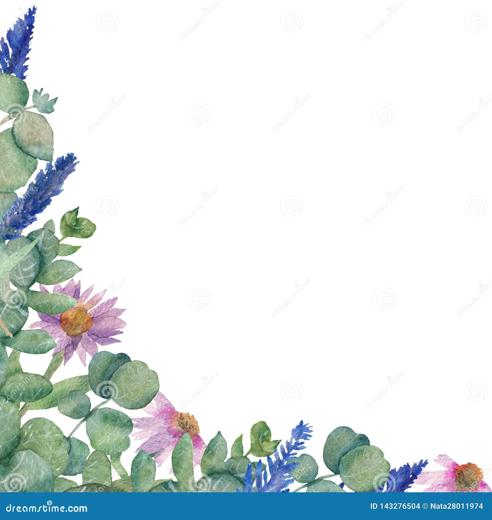 Vattenfärgillustration av filialerna av medicinska eukalyptussidor, Echinaceablommor och kvistar av lavendel som isoleras på en w