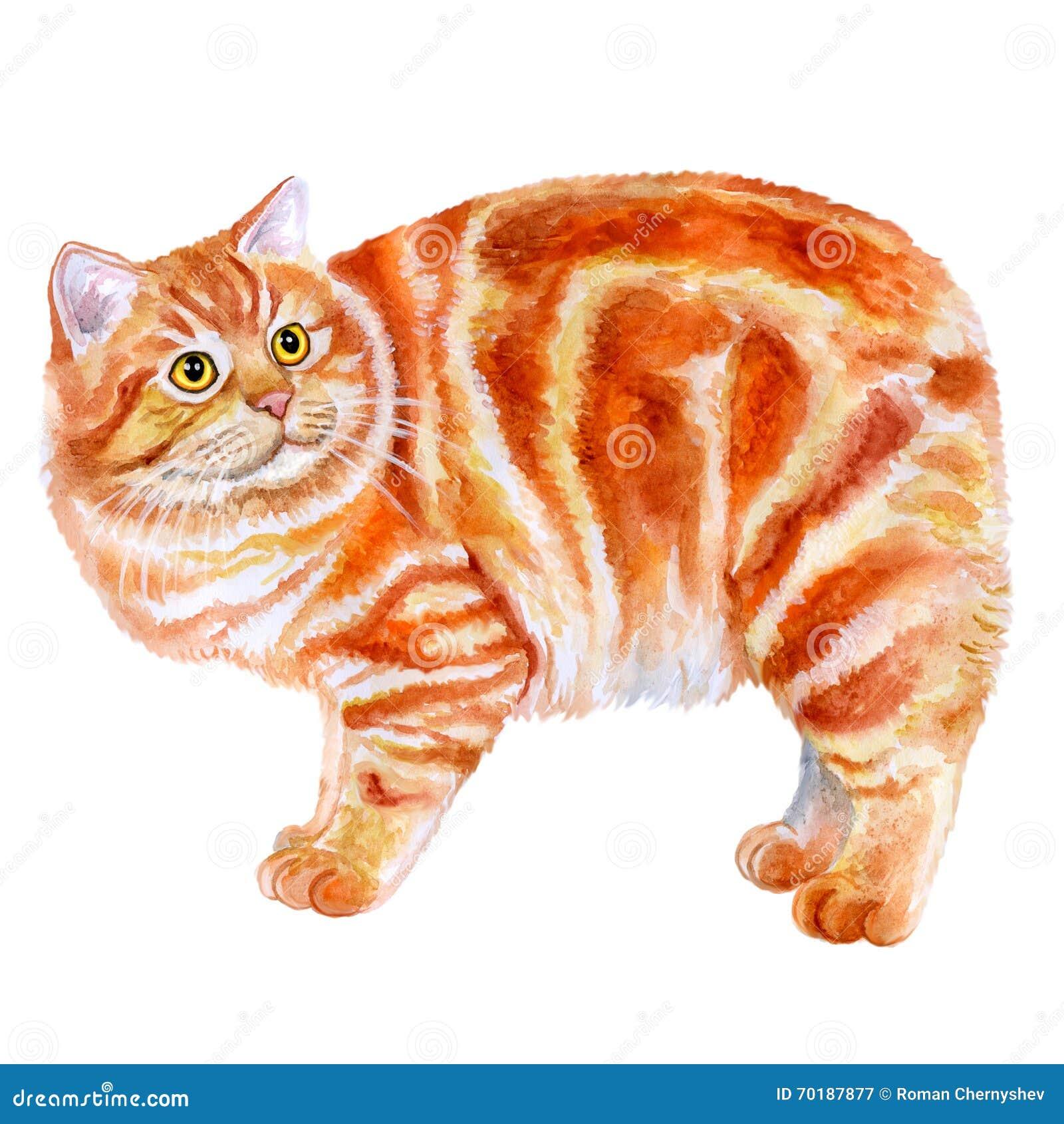 Vattenfärgstående av rött Manx, Manks katt med ingen svans på vit bakgrund