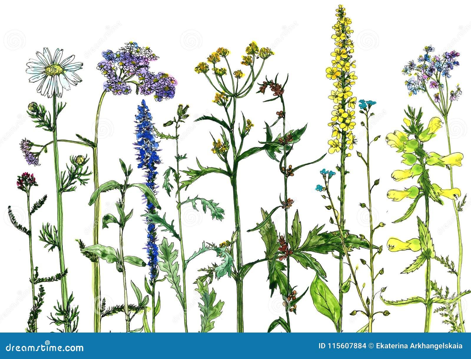 Vattenfärgteckningen blommar och växter