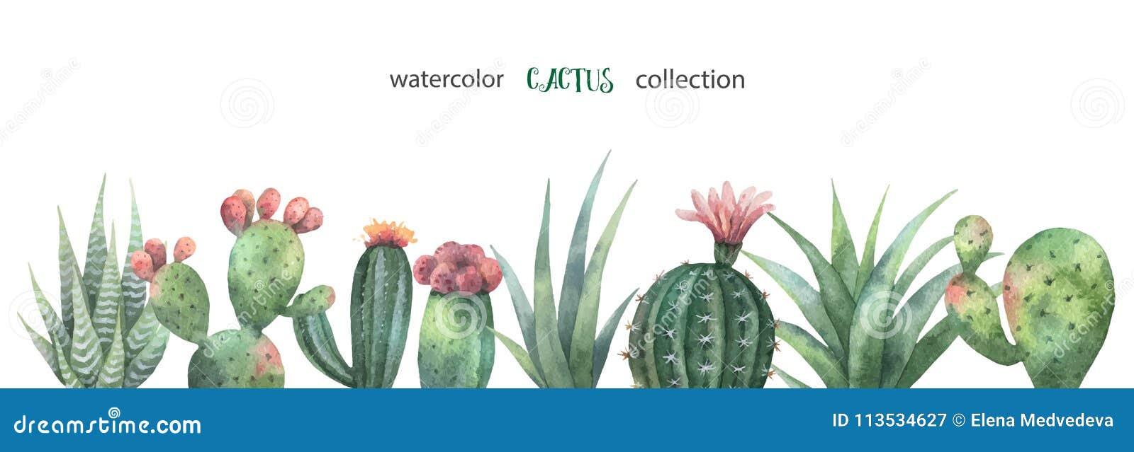 Vattenfärgvektorbaner av kakturs och suckulentväxter som isoleras på vit bakgrund