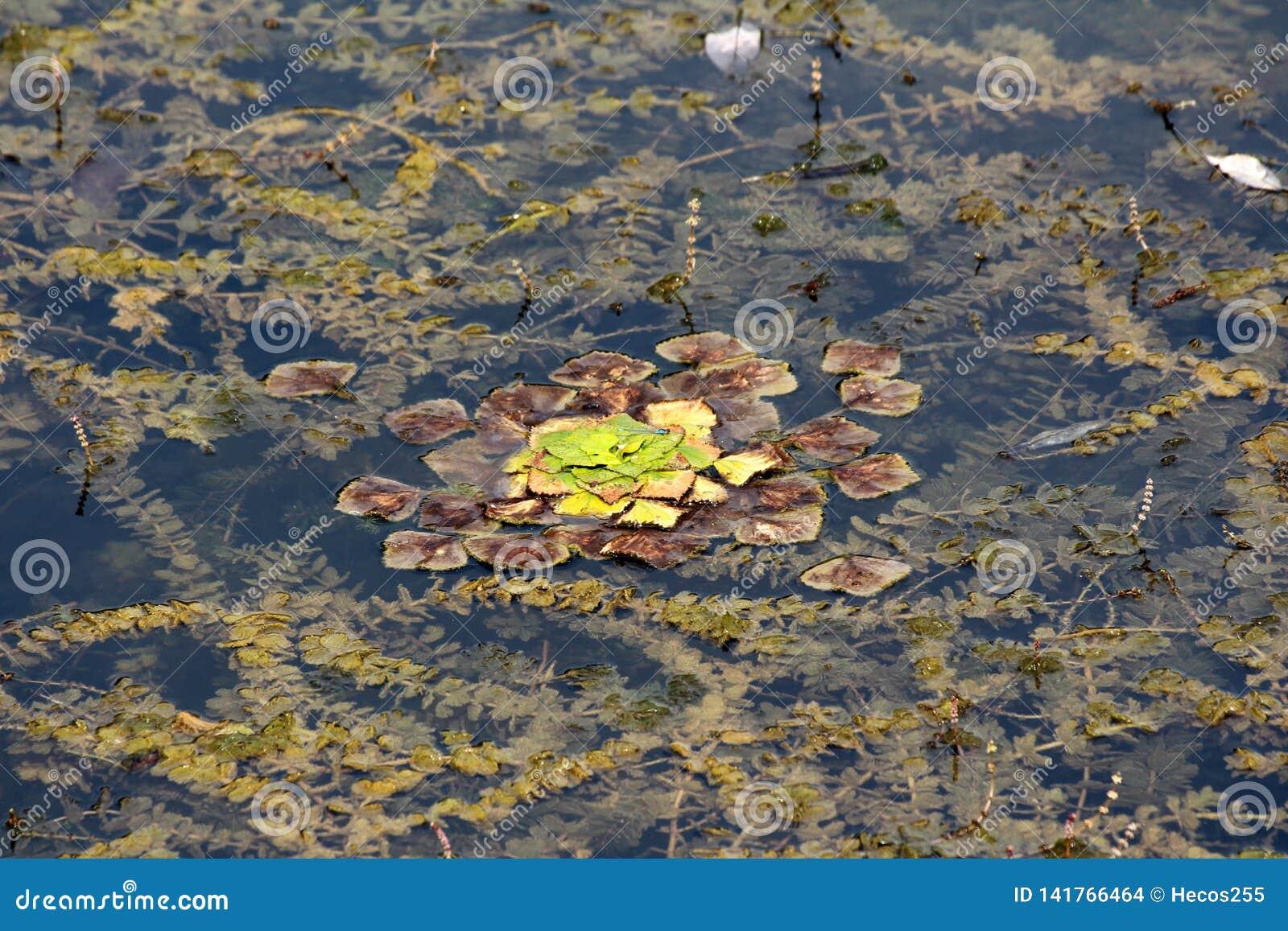 Vattenkastanj eller Eleocharisdulcisgräs som den vatten- grönsakstarrgräset med tjocka gröna och bruna sidor som svävar i den lok
