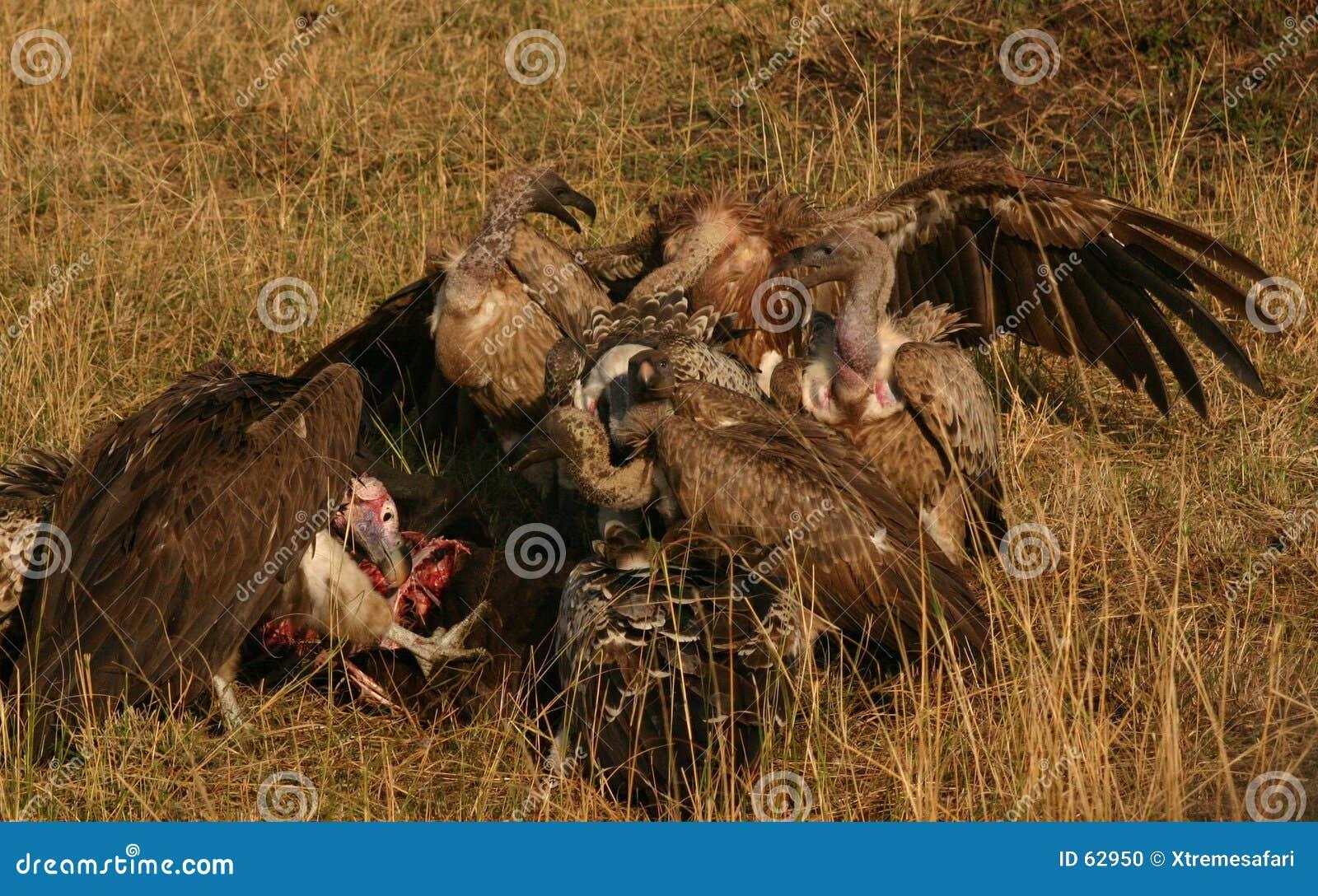 Download Vautours Sur Une Mise à Mort Photo stock - Image du scavenger, safari: 62950