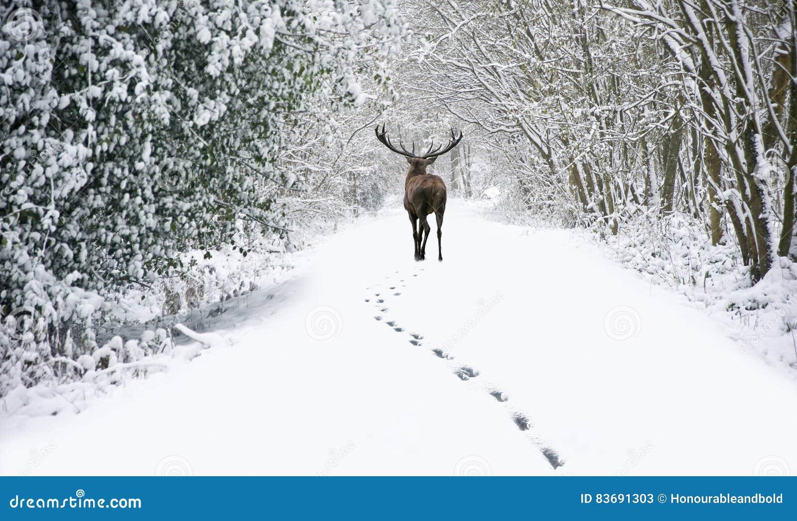 Veado bonito dos veados vermelhos no inverno festivo coberto de neve FO da estação