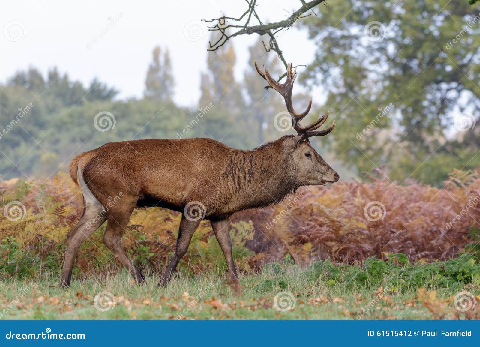 Veado dos cervos vermelhos