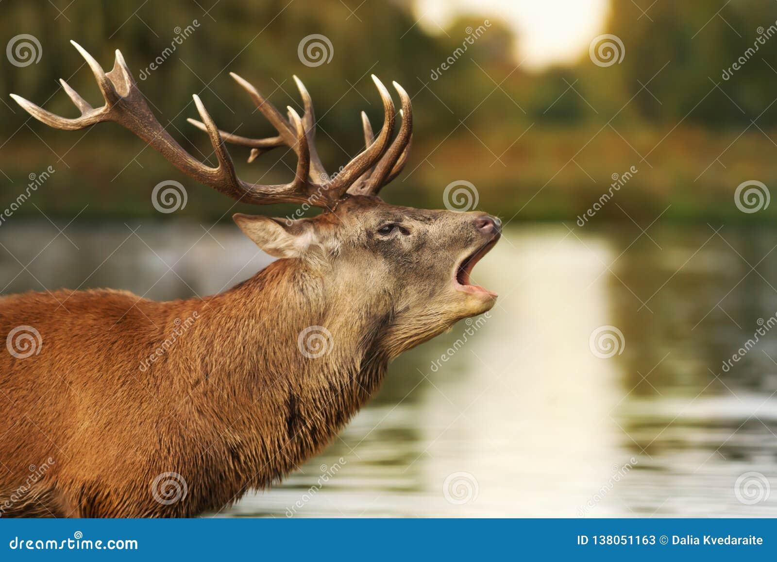 Veado dos veados vermelhos que grita perto da lagoa