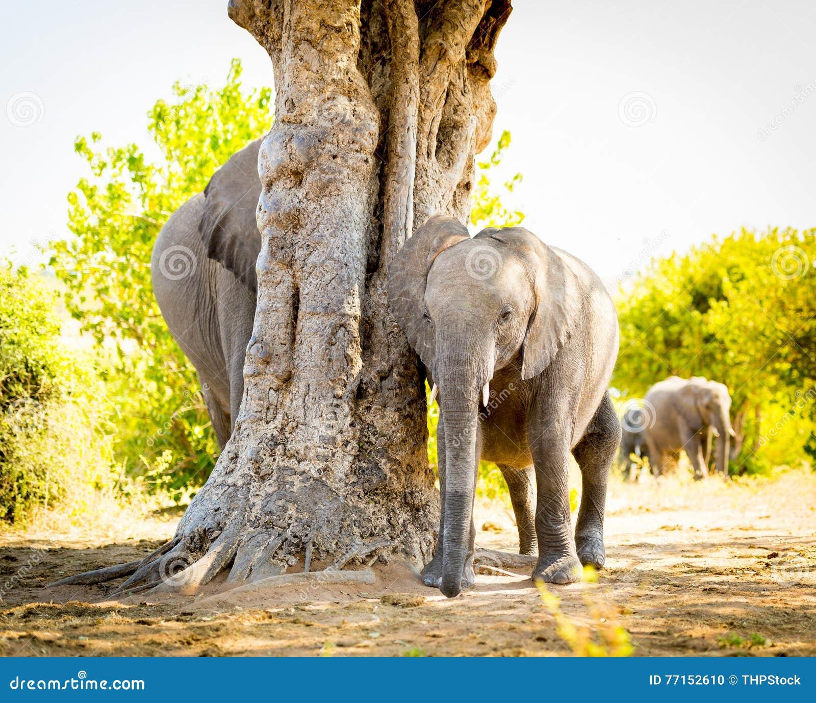 Veau d éléphant avec le troupeau d éléphant