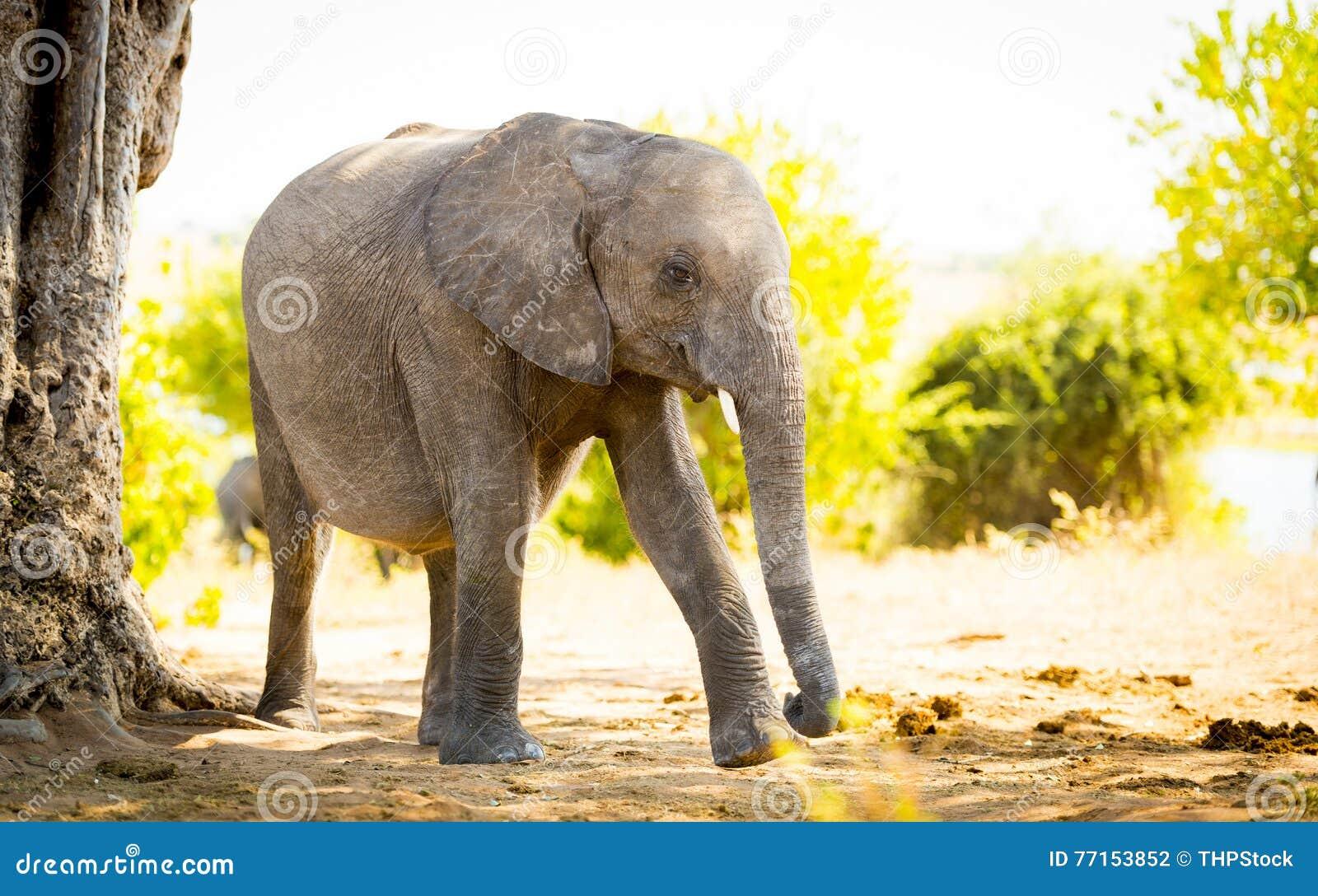 Veau de bébé d éléphant dans sauvage