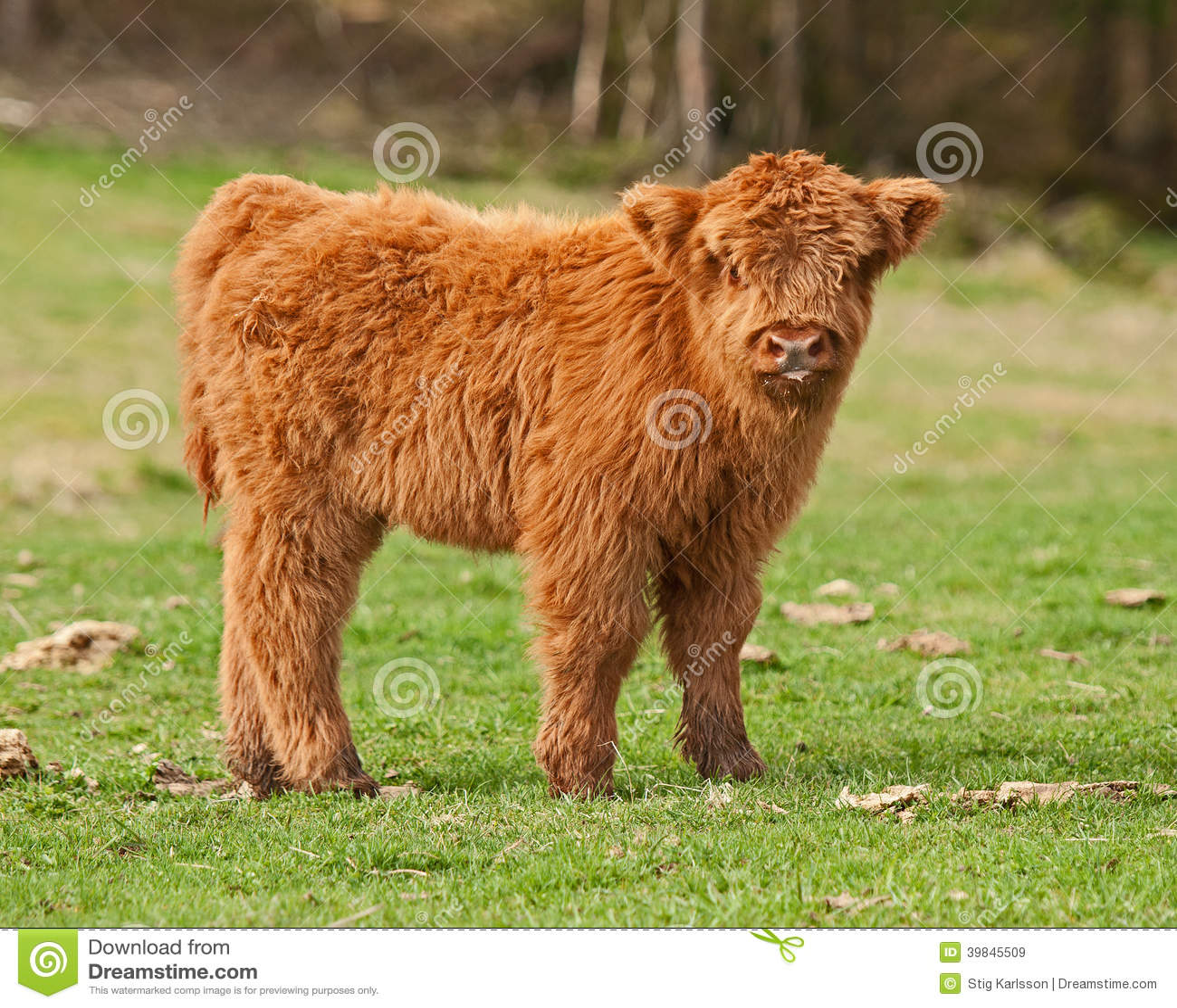 cute fluffy baby cow