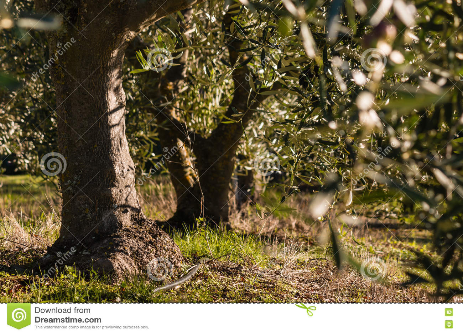 Vecchi di olivo in oliveto fotografia stock immagine for Acquisto piante olivo