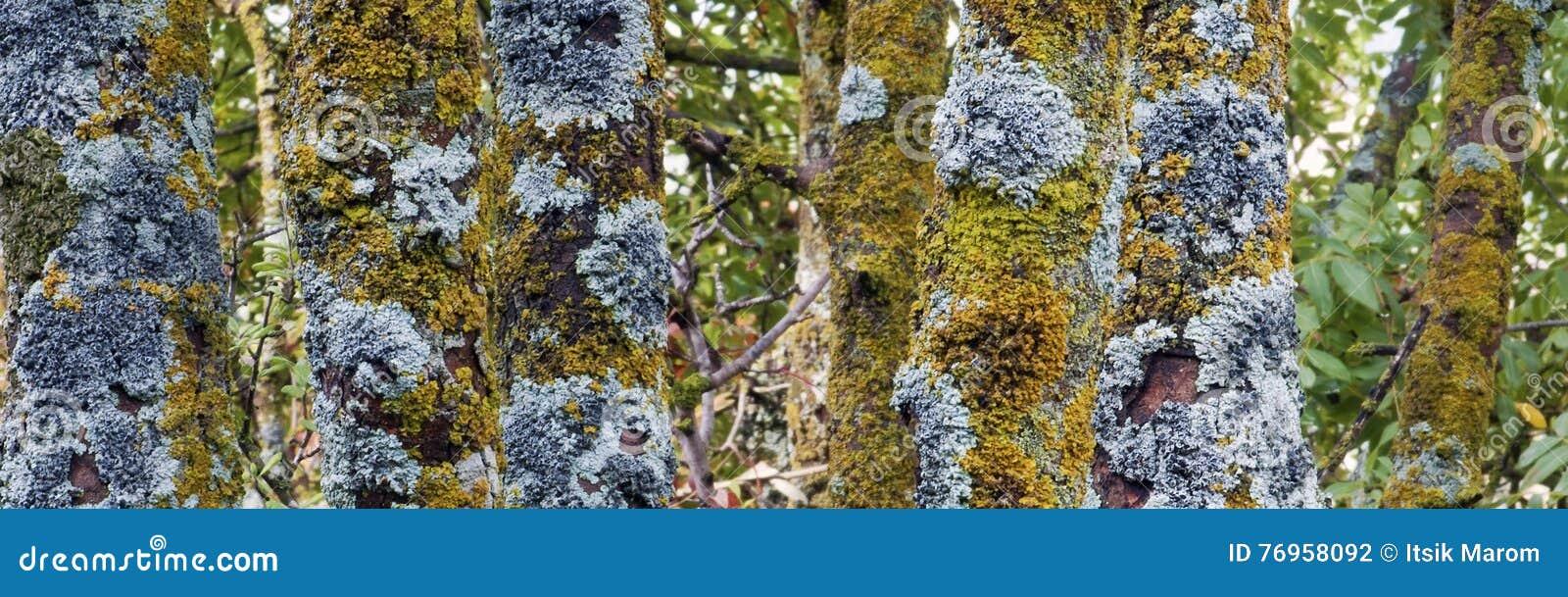 Vecchi tronchi dell albero forestale