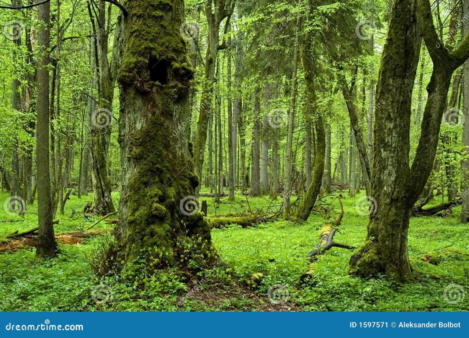 vecchia foresta naturale immagine stock immagine di. Black Bedroom Furniture Sets. Home Design Ideas