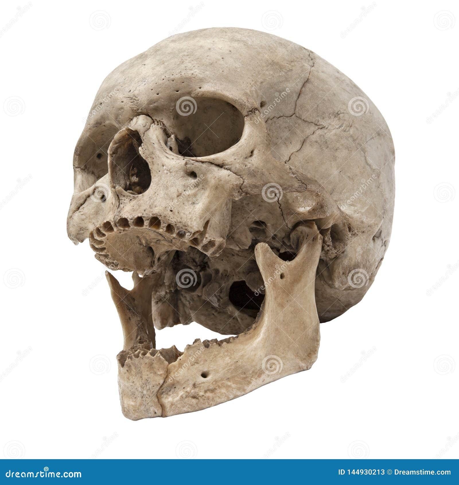 Vecchia vista dal basso umana del cranio senza denti
