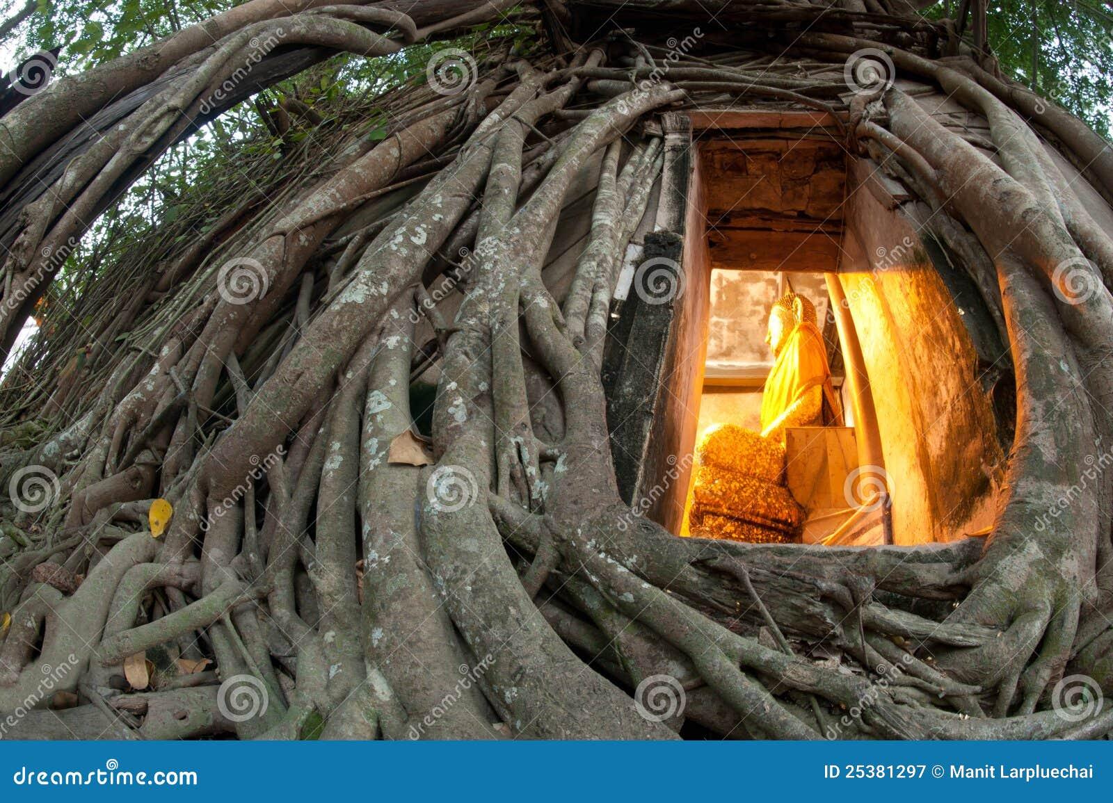 Vecchio albero della radice intorno alla chiesa tailandese antica.