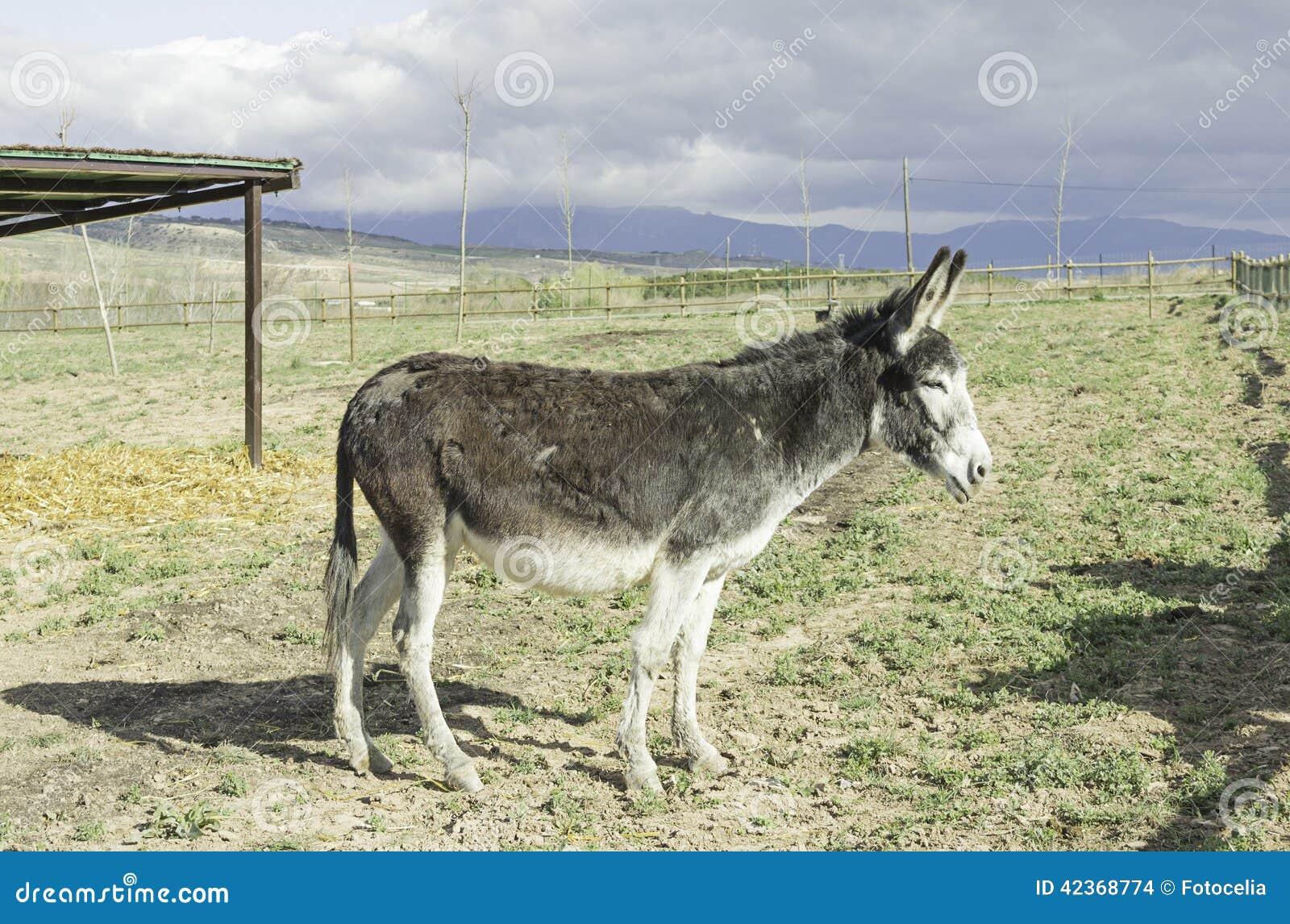Vecchio asino fotografia stock immagine di piedino for Asino e cavalla