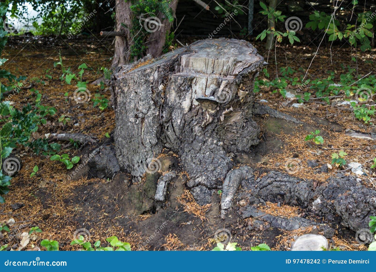 Vecchio ceppo di albero coperto di muschio nella foresta di conifere, bello paesaggio