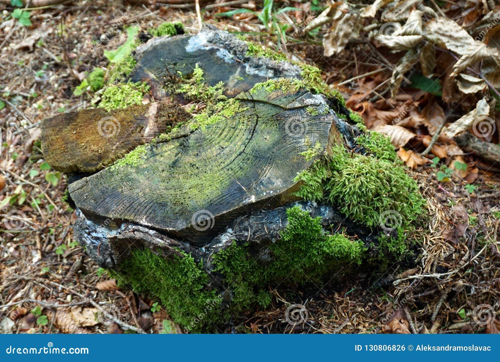 Vecchio ceppo di albero marcio invaso con muschio, vista superiore