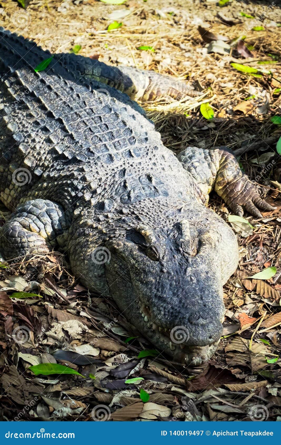Vecchio coccodrillo