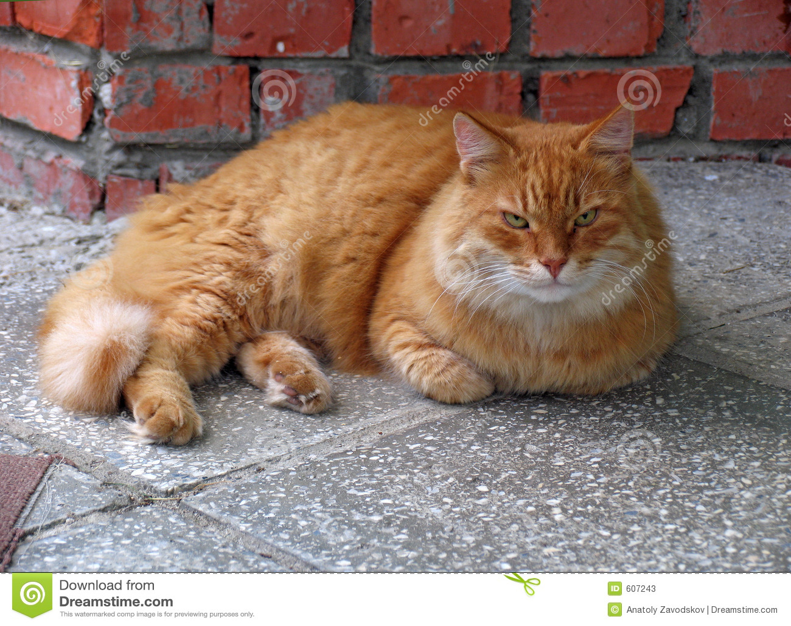 Vecchio gatto rosso bello