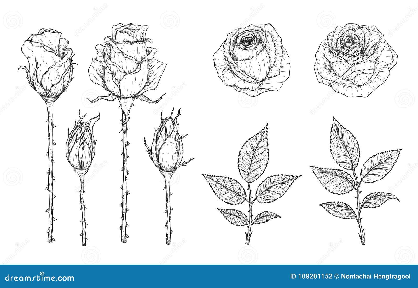 Vecteur De Rose Regle A La Main Dessin Illustration De Vecteur