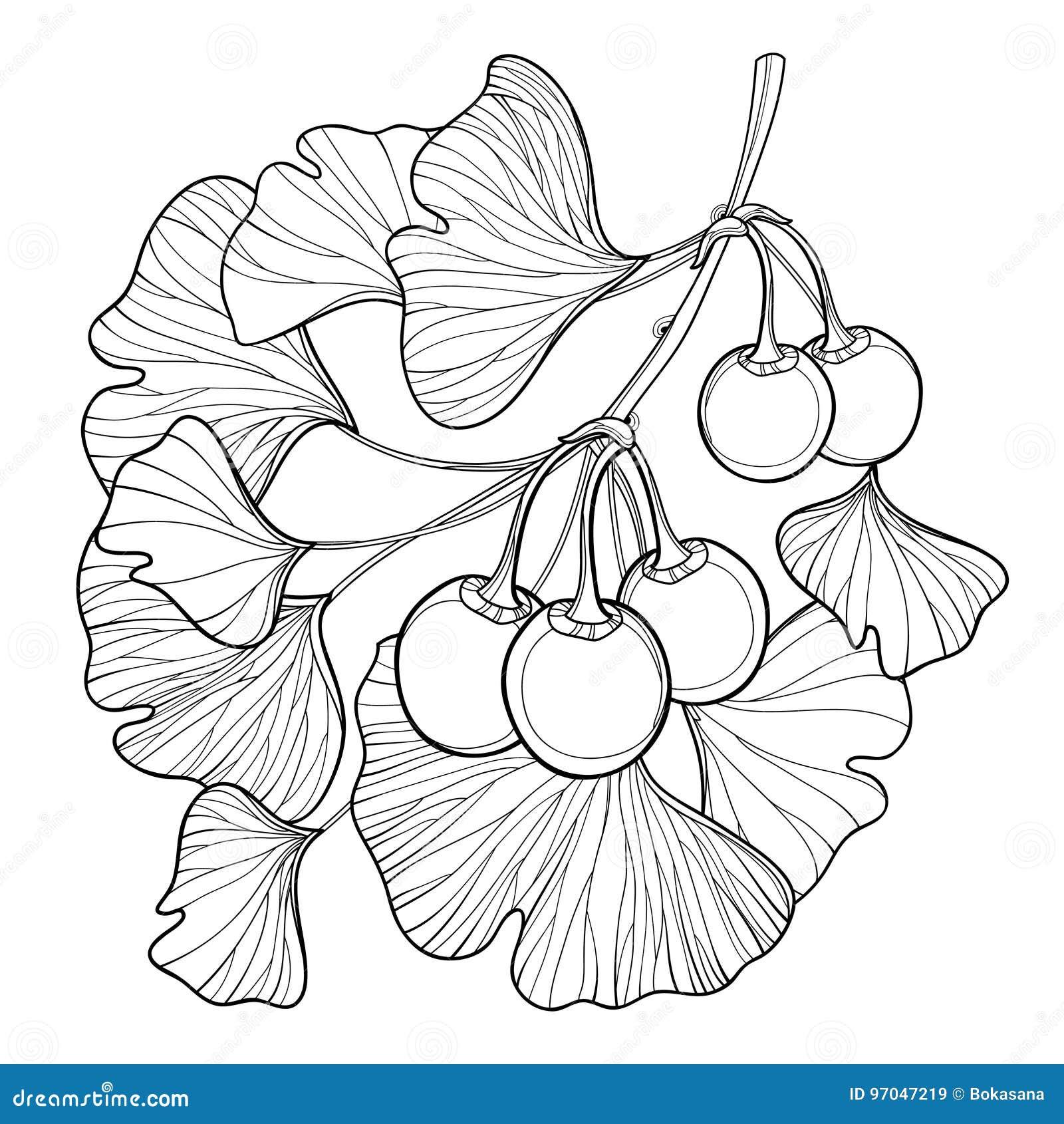 Vector ветвь с деревом biloba Gingko или гинкго плана Пук при лист и плодоовощ изолированные на белой предпосылке