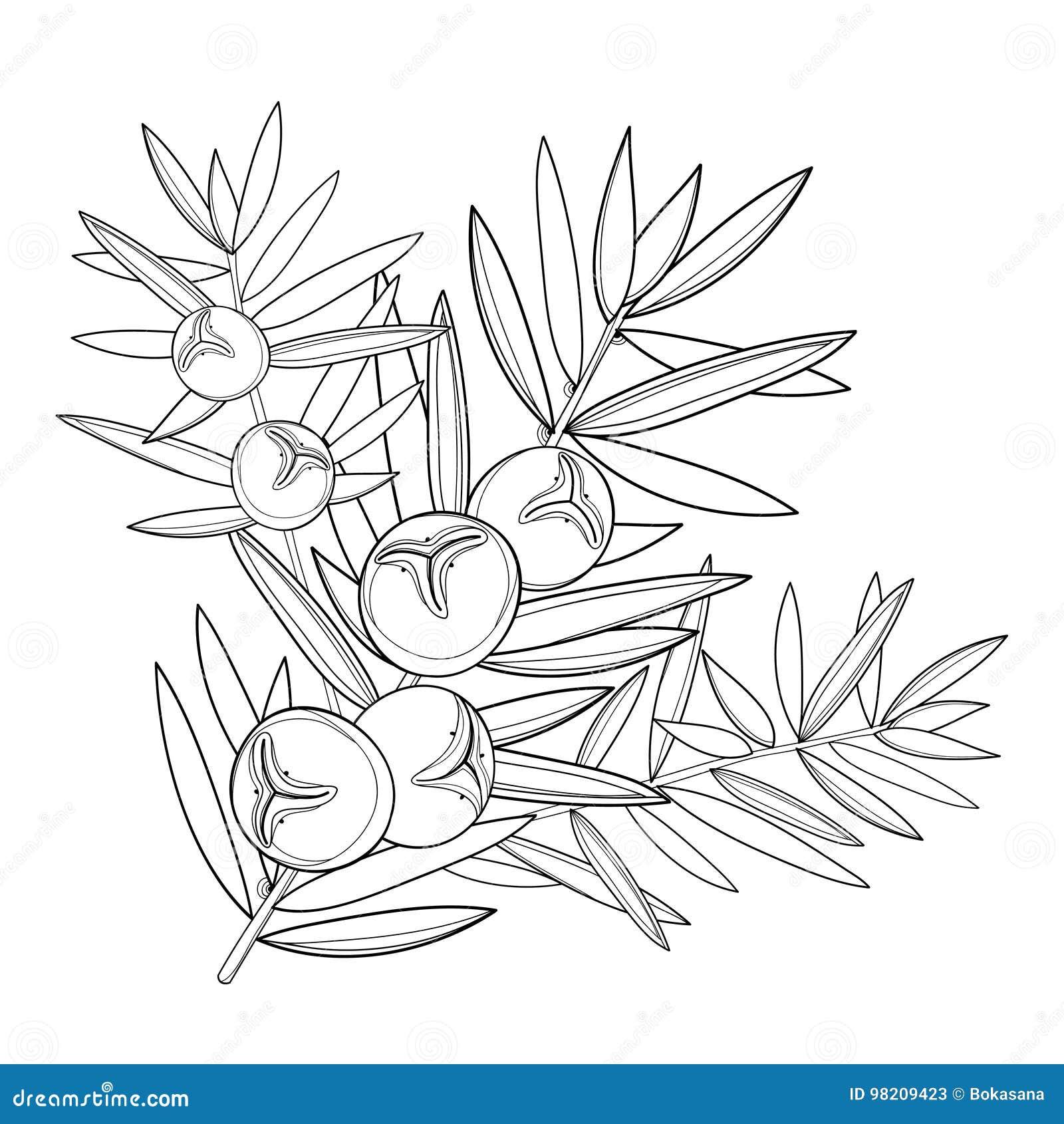 Vector ветвь с можжевельником плана или Juniperus communis Пук, ягода и сосна в черноте изолированные на белой предпосылке