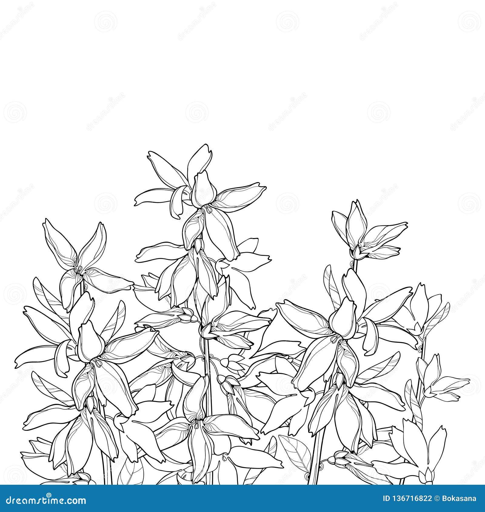 Vector пук с цветком Forsythia плана, разветвите, листья в черноте изолированные на белой предпосылке Forsythia завода сада