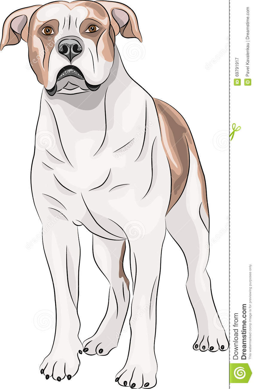 American bulldog vector - photo#20