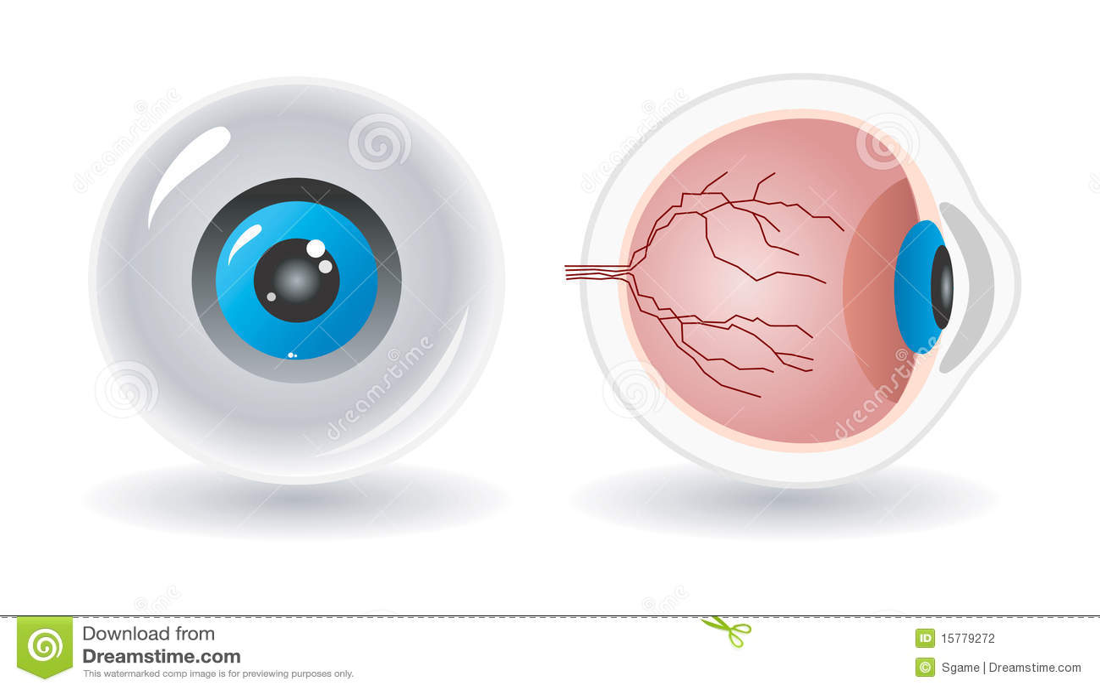 Vector Anatomy Of Human Eye Stock Vector Illustration Of Lens