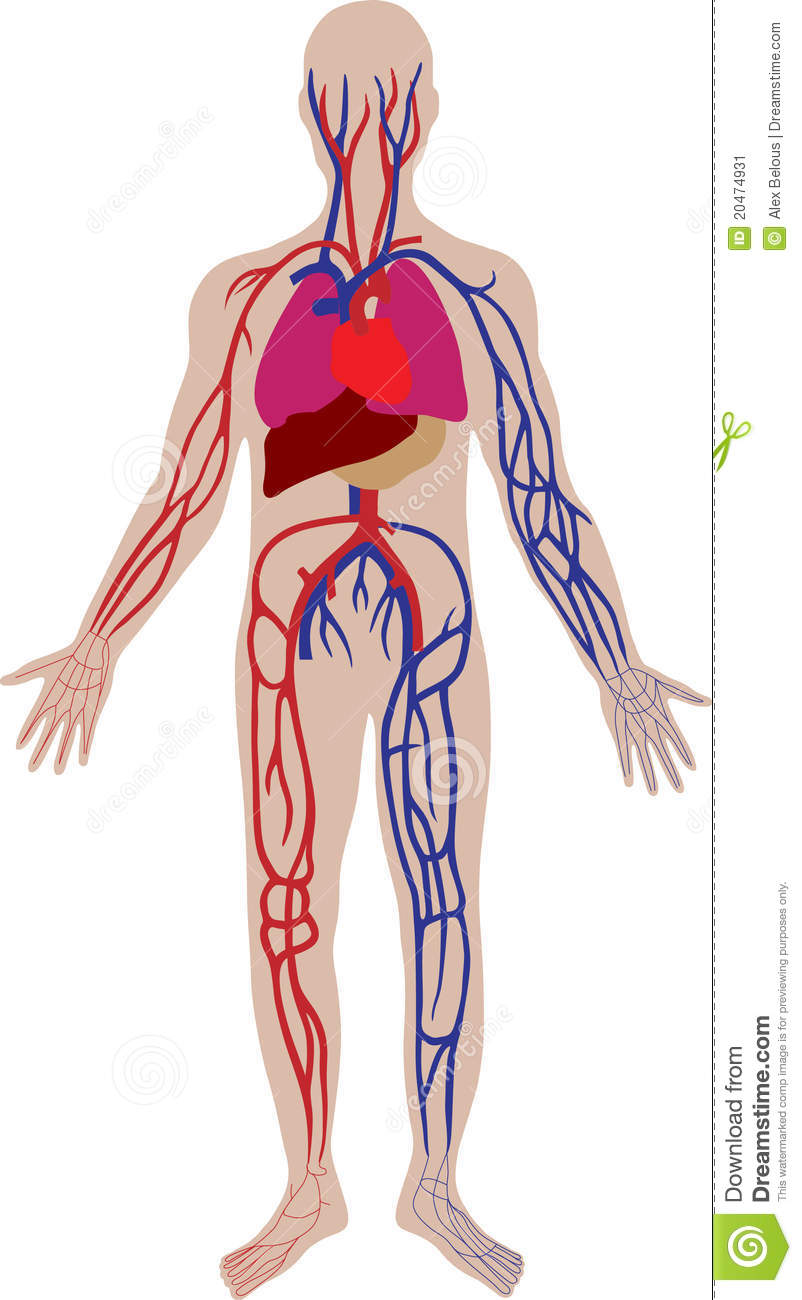 Stock Image Vector Blood System Person Image20474931 on lung circulatory system