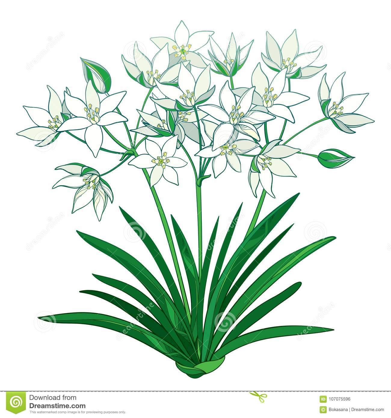 Vector Bouquet With Outline Ornithogalum Or Star Of Bethlehem Flower