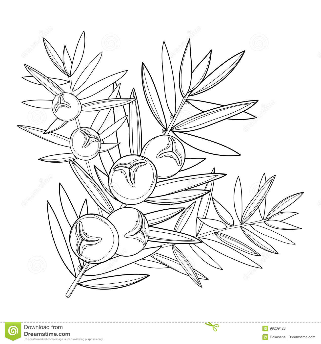 Vector branch with outline Juniper or Juniperus communis. Bunch, berry and pine in black isolated on white background.