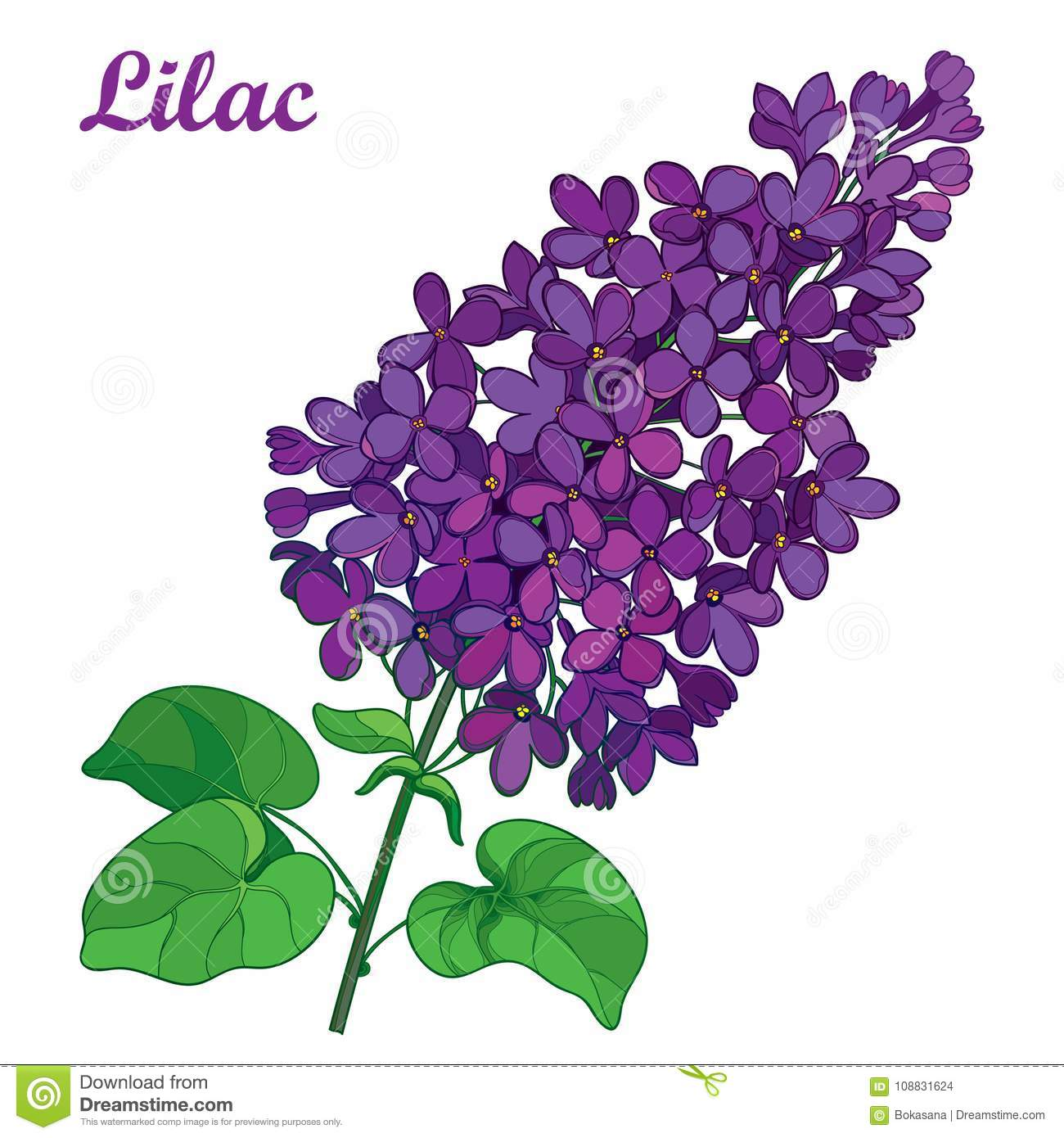 Vector branch with outline purple Lilac or Syringa flower bunch and ornate green leaves isolated on white background.