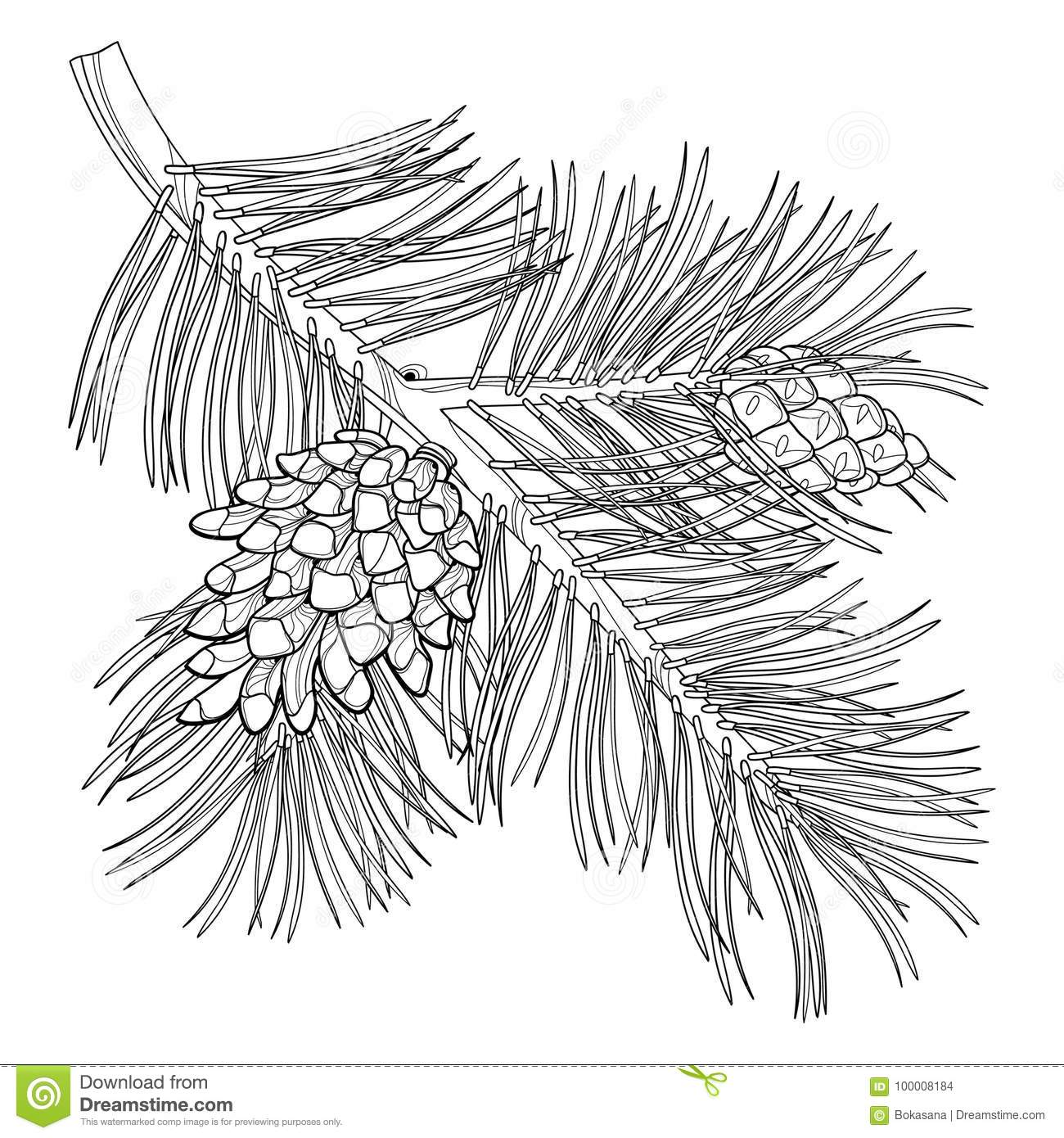 Vector branch of outline Scots pine or Pinus sylvestris tree. Bunch, pine and cones in black isolated on white background.