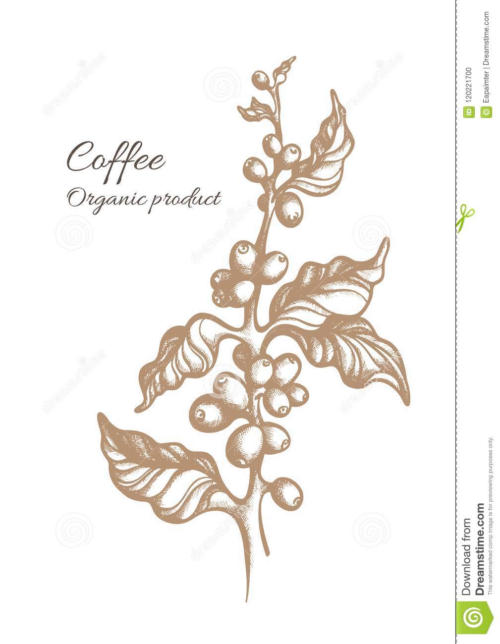 Vector Coffee Branch With Leaves Beans Stock Vector Illustration Of History Peeling 120221700